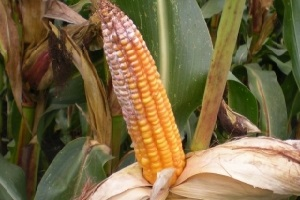 Белая гниль кукурузы
