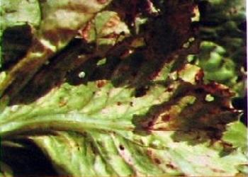 Чем болеет салат