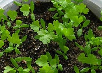 Как вырастить рассаду сельдерея
