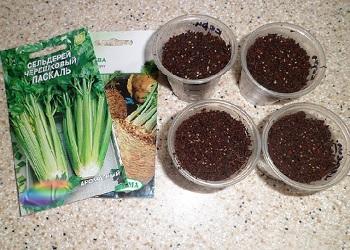 Посев семян сельдерея
