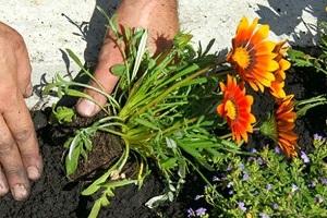 Газания посадка в саду