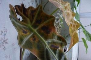 Желтеют листья у алоказии