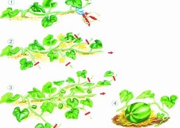 Технология прищипывания арбузов