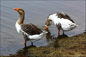 Ландские гуси, описание