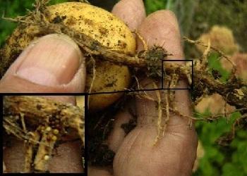 Симптомы нематоды картофеляофел