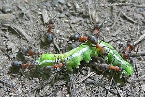 Польза от муравьёв