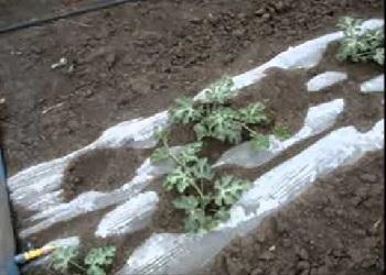 Как выращивать арбузы под плёнкой