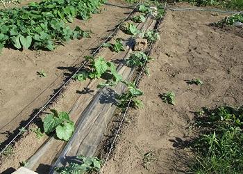 Как и когда посеять арбузы