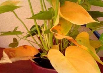 Причины пожелтения листьев у антуриума