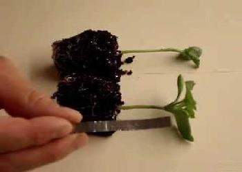 Как прививать арбуз на тыкву