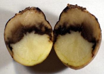 внешний вид плода картофеля поражённого чёрной ножкой