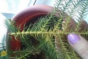 араукария желтеют листья