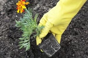 бархатцы выращивание