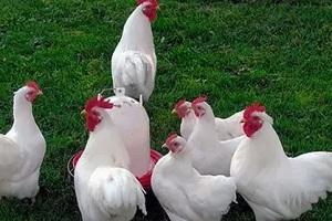 белая порода кур
