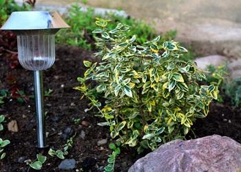бересклет в саду посадка