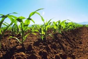 внесение удобрений под кукурузу
