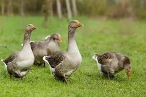 кормление холмогорских гусей