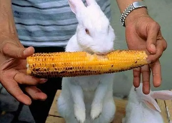 кролик и кукуруза