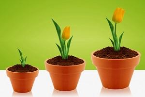 описание тюльпанов