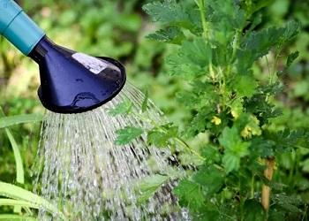 полив смородины дождеванием