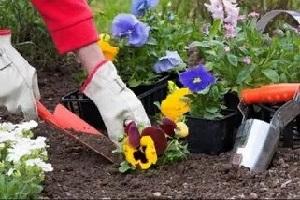 посадка виолы в саду
