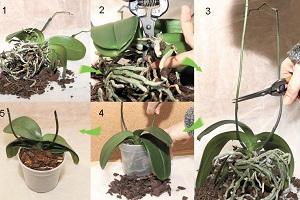 процесс пересадки орхидеи