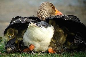 разведение тулузских гусей