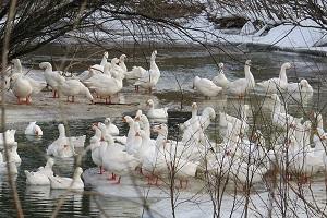содержание губернаторских гусей