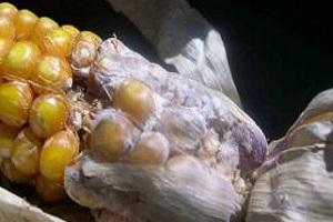Сухая гниль кукурузы
