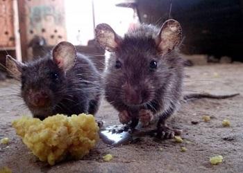 химические методы борьбы с крысами