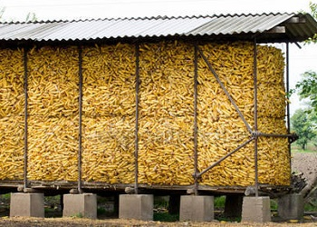 Как сохранить кукурузу в початках