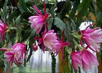 эпифиллум цветение