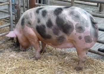 порода свиней Петрен1