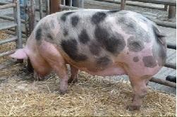 порода свиней петрен